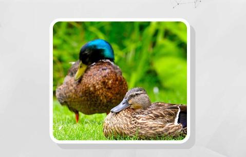 為何鴨子遊完泳羽毛卻不會濕?